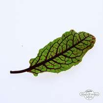 Bloody dock, red veined sorrel (Rumex sanguineus) - bulk quantity (10g / approx. 10000 seeds) #1