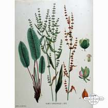 Bloody dock, red veined sorrel (Rumex sanguineus) - bulk quantity (10g / approx. 10000 seeds) #3