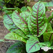Bloody dock, red veined sorrel (Rumex sanguineus) #0