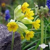 Common cowslip (Primula veris) - bulk quantity (10g / approx. 10000 seeds) #3