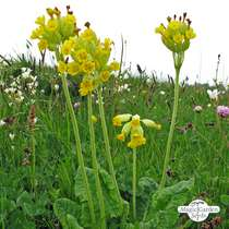 Common cowslip (Primula veris) - bulk quantity (10g / approx. 10000 seeds) #4