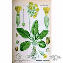 Common cowslip (Primula veris) - bulk quantity (10g / approx. 10000 seeds) #5
