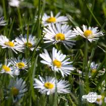 Lawn daisy (Bellis perennis) packet #1