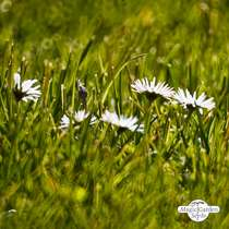 Lawn daisy (Bellis perennis) packet #2