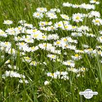 Lawn daisy (Bellis perennis) packet #0