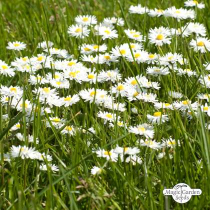 Lawn daisy (Bellis perennis) packet