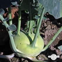 White Kohlrabi 'Superschmelz' (Brassica oleracea var. gongylodes) conventional - bulk quantity (10g / approx. 3000 seeds) #1