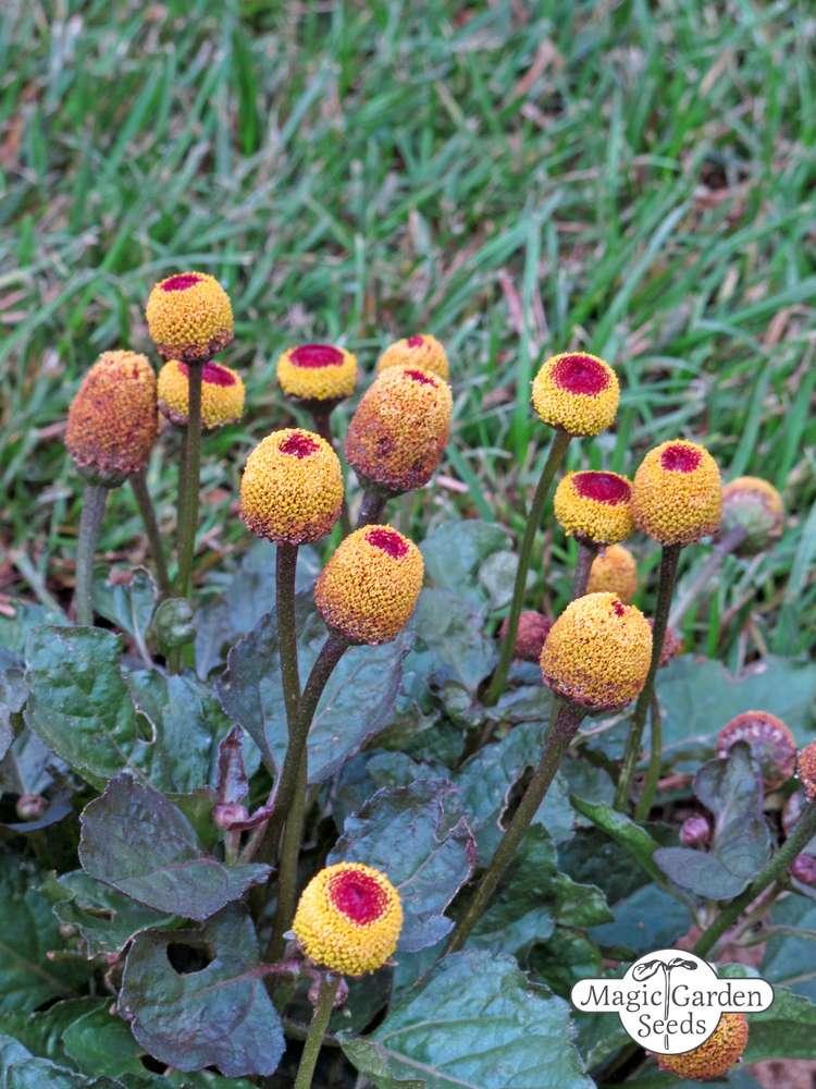 Speisekürbis Big Max für ca 4-5 Pflanzen Samen Saatgut Kürbise Deko Aussaat