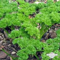 Curly leaf parsley (Petroselinum crispum) conventional #1