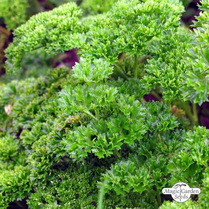 Curly leaf parsley (Petroselinum crispum) conventional