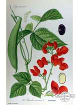 Runner Bean 'Prizewinner' (Phaseolus coccineus) - bulk quantity (100g / approx. 80 seeds) #5