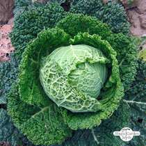 May Savoy Cabbage 'Bonner Advent' (Brassica oleracea convar. capitata var. sabauda L.) - bulk quantity (5g / approx. 1000 seeds) #1