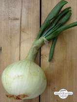 Onion 'Globo' (Allium cepa) - bulk quantity (10g / approx. 2000 seeds) #1