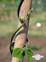 Pole Bean 'A Cosse Violette' (Phaseolus vulgaris) - bulk quantity (100g / approx. 200 seeds) #1