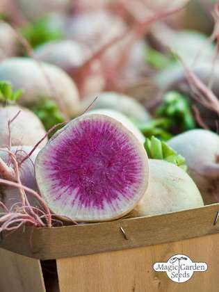 Watermelon radish 'Red Meat' (Raphanus sativus)