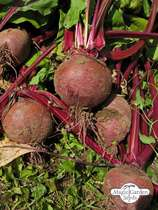 Bull's Blood Beet (Beta vulgaris) - bulk quantity (10g / approx. 500 seeds) #1