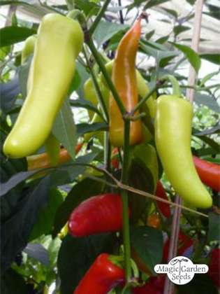 Hot Banana Pepper (Capsicum annuum)
