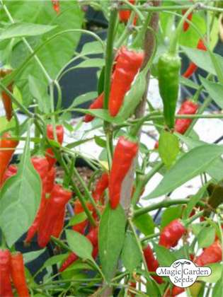 Guyana Rainforest Chili Pepper 'Mazaroni' (Capsicum annuum)