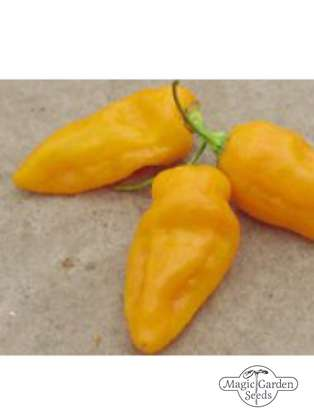 Yellow African Fatalii Chilli Pepper (Capsicum chinense)