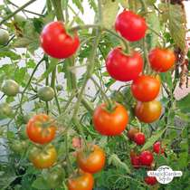 Tomato 'Outdoor Girl' (Solanum lycopersicum) #0