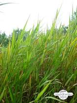 Reed canary grass (Phalaris arundinacea) #0
