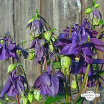 Common columbine (Aquilegia vulgaris) conventional - bulk quantity (10g / 6000 seeds) #1