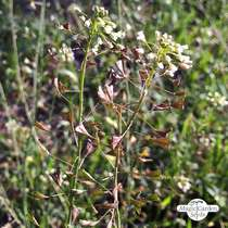 Shepherd's purse (Capsella bursa-pastoris) #0