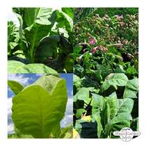 Cigarette Tobacco - Seed kit gift box #5