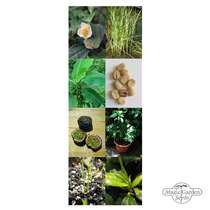Tropical Agricultural Crops: Coffee, Tea, Rice, Passion Fruit & Banana - Seed kit gift box #5