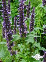Mexican Giant Hyssop (Agastache Mexicana) #0