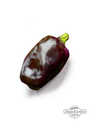 Chilli Pepper 'Purple Tiger' (Capsicum annuum)