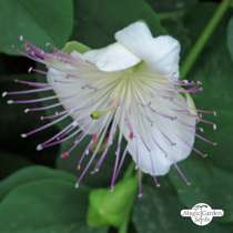 Caper bush (Capparis spinosa) #2
