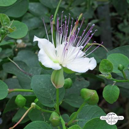 Caper bush (Capparis spinosa)