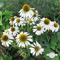 White hedgehog coneflower (Echinacea purpurea) organic #1