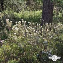 Marsh Labrador Tea (Ledum palustre) #0