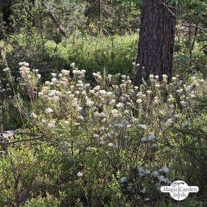 Marsh Labrador Tea (Ledum palustre)
