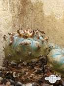 False Peyote (Lophophora diffusa)