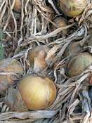 Onion 'Globo' (Allium cepa)