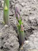 "Green asparagus ""Mary Washington"" (Asparagus officinalis)"