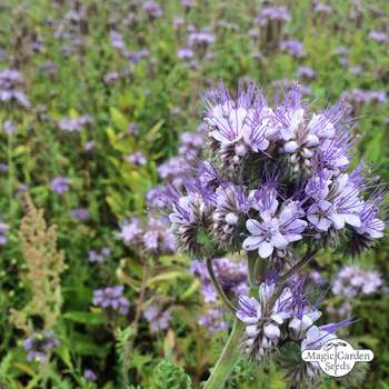 Purple tansy Saatgut Seeds 50+ Samen Bienenfreund Phacelia tanacetifolia