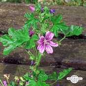 Roundleaf Mallow (Malva neglecta)