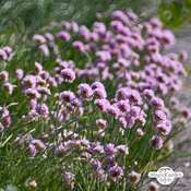 Sea thrift (Armeria maritima)