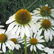White hedgehog coneflower (Echinacea purpurea) organic