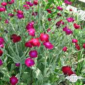 Mullein-pink, Bloody William (Silene coronaria) organic