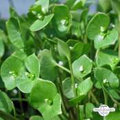 Winter Purslane (Montia perfoliata)