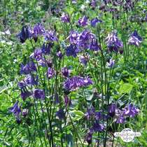 Wildflower mixture - bulk quantity (100g suitable for approx. 50m² area) #1