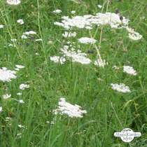 Wildflower mixture - bulk quantity (100g suitable for approx. 50m² area) #10