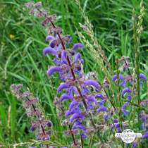 Wildflower mixture - bulk quantity (100g suitable for approx. 50m² area) #11