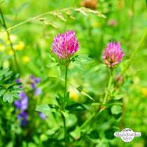 Insect-friendly Flower Mixture conventional - bulk quantity (100g suitable for approx. 50 m² area) #9
