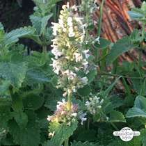 White Catnip (Nepata cataria ssp. citriodora) #1
